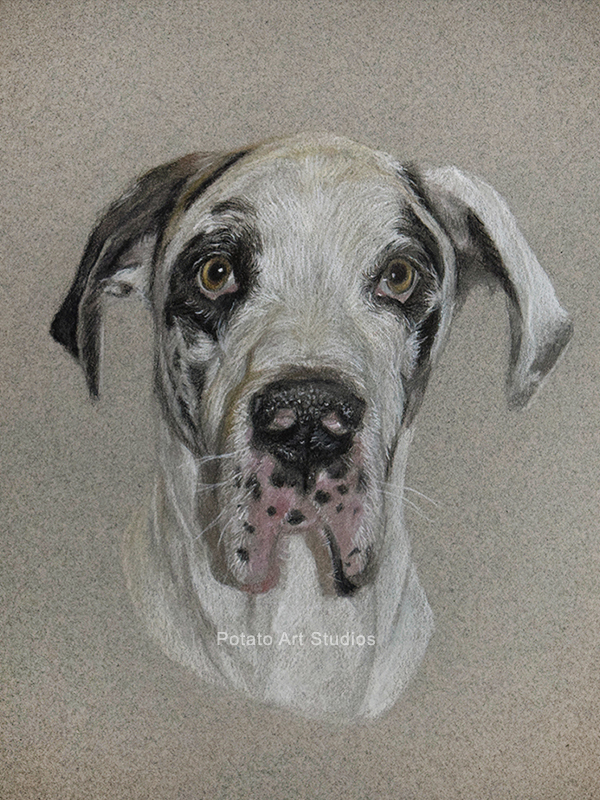 Great Dane Dog Portrait Drawing Colored Pencil Coloredpencil Prismacolor Potato Art Studios