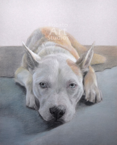 Pit bull colored pencil Faber Castell Polychromos Caran d Ache Luminance Prismacolor dog portrait drawing realism potato art studios