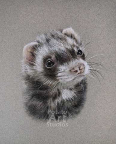 Ferret colored pencil Faber Castell Polychromos Caran d'Ache Luminance Prismacolor ferret art portrait drawing realism potato art studios
