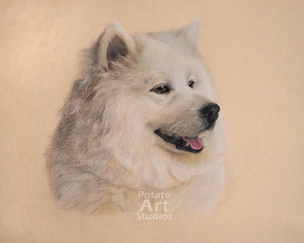 samoyed  colored pencil Faber Castell Polychromos Caran d Ache Luminance Prismacolor dog portrait drawing realism potato art studios