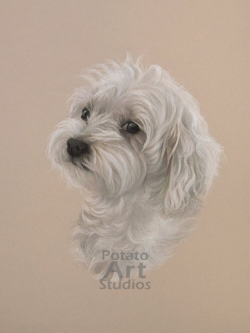 Maltese  colored pencil Faber Castell Polychromos Caran d'Ache Luminance Prismacolor dog portrait drawing realism potato art studios