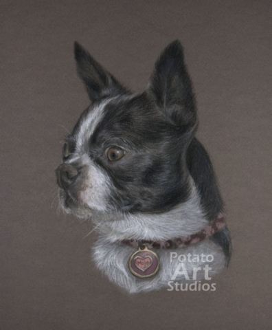 Boston terrier colored pencil Faber Castell Polychromos Caran d Ache Luminance Prismacolor dog portrait drawing realism potato art studios