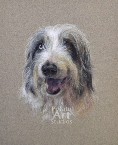 Australian Shepherd colored pencil Faber Castell Polychromos Caran d Ache Luminance Prismacolor dog portrait drawing realism potato art studios