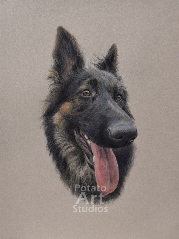German Shepherd colored pencil Faber Castell Polychromos Caran d'Ache Luminance Prismacolor dog portrait drawing realism potato art studios
