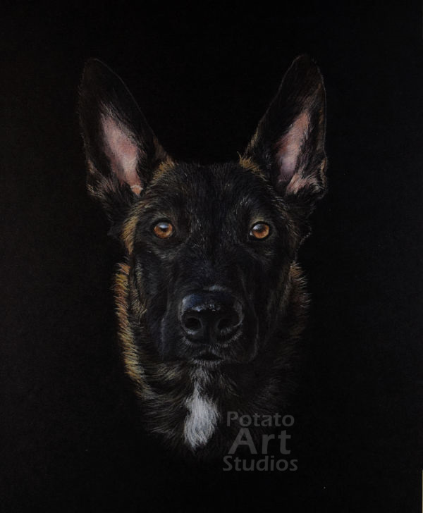 Belgian Malinois  colored pencil Faber Castell Polychromos Caran d'Ache Luminance Prismacolor dog portrait drawing realism potato art studios
