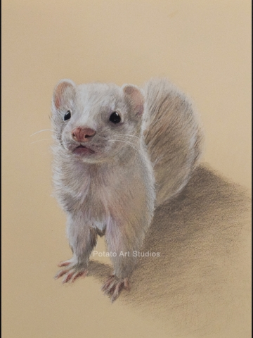 Ferret Pet Portrait Drawing Colored Pencil Coloredpencil Prismacolor Potato Art Studios PotatoArtStudios
