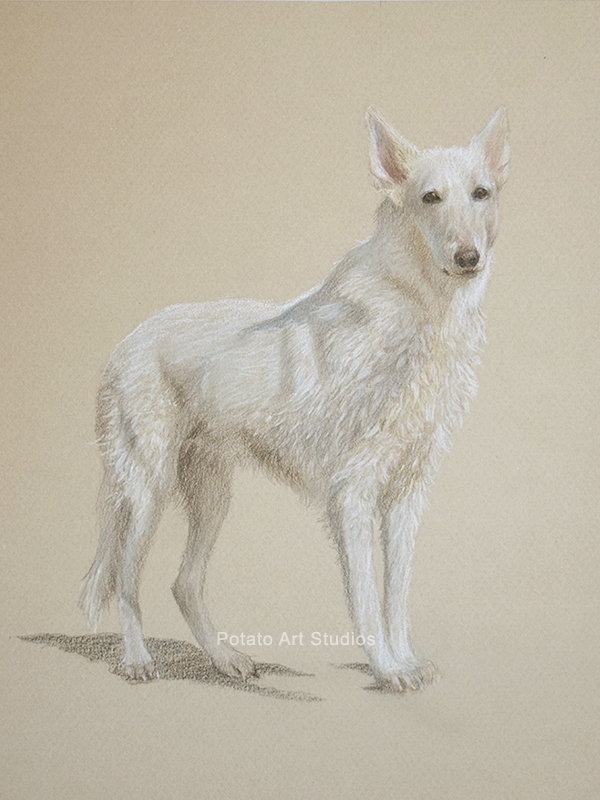 White German Shepherd GSD Dog Portrait Drawing Colored Pencil Coloredpencil Prismacolor Potato Art Studios