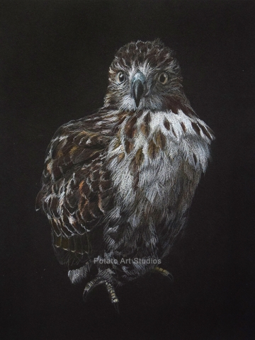 Hawk Portrait Drawing Colored Pencil Coloredpencil Prismacolor Potato Art Studios
