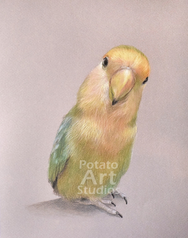 bird lovebird colored pencil Faber Castell Polychromos Caran dAche Luminance Prismacolor portrait drawing realism potato art studios
