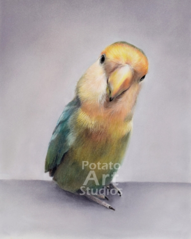 bird lovebird Pastel pencil conte stabilo carbothello Derwent faber castell PITT Sennelier portrait drawing realism potato art studios