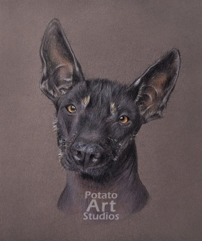 Xolo colored pencil Faber Castell Polychromos Caran d Ache Luminance Prismacolor dog portrait drawing realism potato art studios