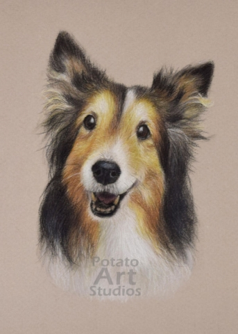 Shetland Sheepdog colored pencil Faber Castell Polychromos Caran d'Ache Luminance Prismacolor dog portrait drawing realism potato art studios