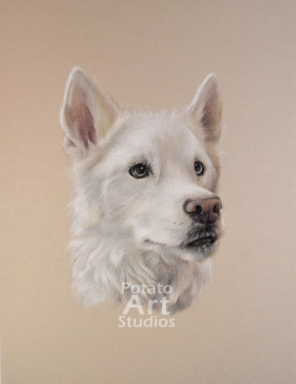 Husky colored pencil Faber Castell Polychromos Caran d Ache Luminance Prismacolor dog portrait drawing realism potato art studios