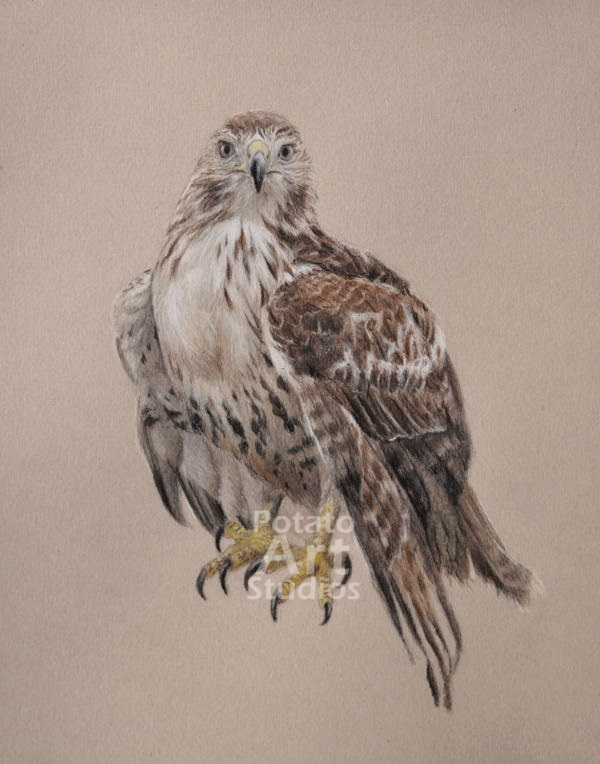 Red Tailed Hawk colored pencil Faber Castell Polychromos Caran dAche Luminance Prismacolor bird portrait drawing realism potato art studios