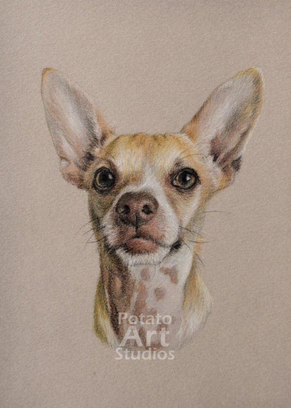 Chihuahua Terrier Chiterrier mix colored pencil Faber Castell Polychromos Caran d'Ache Luminance Prismacolor dog portrait drawing realism potato art studios