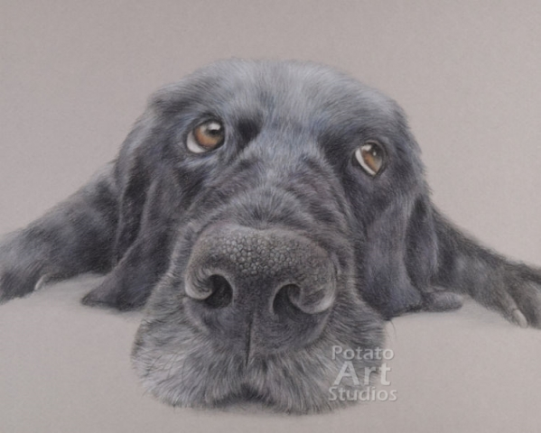 Dog colored pencil Faber Castell Polychromos Caran dAche Luminance Derwent portrait drawing realism potato art studios