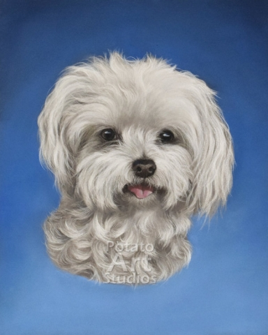 Dog Pastel pencil conte stabilo carbothello Derwent faber castell PITT Sennelier portrait drawing realism potato art studios potatoartstudios maltese