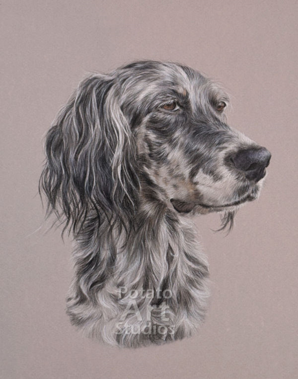 Dog colored pencil Faber Castell Polychromos Caran dAche Luminance Derwent portrait drawing realism potato art studios English Setter